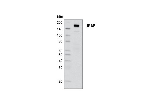 Western blot analysis of extracts from 3T3-L1 cells using IRAP (3E1) Mouse mAb.