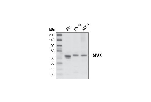 Polyclonal Antibody Immunofluorescence Frozen Response to Stress