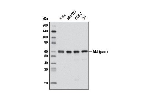 Monoclonal Antibody - Akt (pan) (C67E7) Rabbit mAb (HRP Conjugate), UniProt ID P31749, Entrez ID 10000 #8596 - Primary Antibodies