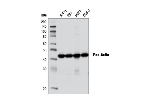 Western blot analysis of extracts from various cell lines using Pan-Actin (D18C11) Rabbit mAb.