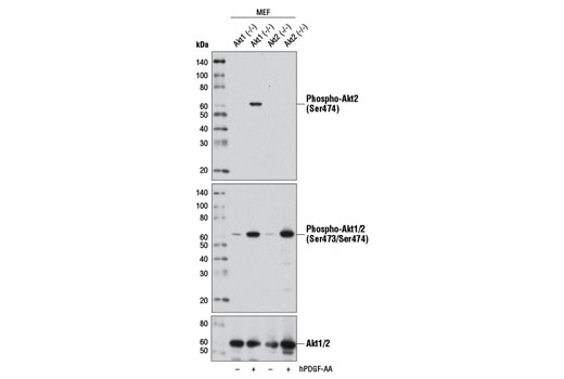 Western blot analysis of extracts from Akt1 (-/-) mouse embryonic fibroblasts (MEF) or Akt2 (-/-) MEF, untreated (-) or treated with Human Platelet-Derived Growth Factor AA (hPDGF-AA) #8913 (100 ng/ml, 15 min; +), using Phospho-Akt2 (Ser474) (D3H2) Rabbit mAb (upper), Phospho-Akt (Ser473) (D9E) XP<sup>®</sup> Rabbit mAb #4060 (middle), or Akt (pan) (C67E7) Rabbit mAb #4691 (lower).