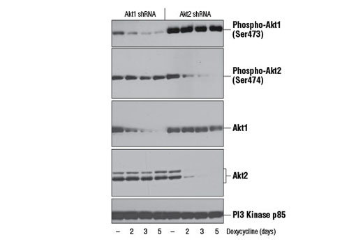 Western blot analysis of extracts from LNCaP cells, transfected with a construct expressing Akt1 shRNA or Akt2 shRNA, uninduced (-) or doxycycline-induced for the indicated times, using Phospho-Akt1 (Ser473) (D7F10) XP<sup>®</sup> Rabbit mAb (Akt1 Specific) #9018 (top), Phospho-Akt2 (Ser474) (D3H2) Rabbit mAb (Akt2 Specific) (2nd from top), Akt1 (C73H10) Rabbit mAb #2938 (middle), Akt2 (D6G4) Rabbit mAb #3063 (2nd from bottom), or PI3 Kinase p85 (19H8) Rabbit mAb #4257 (bottom). (Data kindly provided by Drs. Rebecca Chin and Alex Toker, Beth Israel Deaconess Medical Center and Harvard Medical School, Boston, MA).