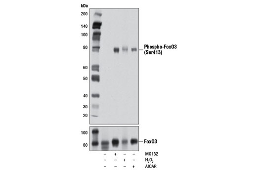 Western blot analysis of extracts from SH-SY5Y cells, untreated, MG132-treated, H<sub>2</sub>O<sub>2</sub>-treated or AICAR-treated, using Phospho-FoxO3 (Ser413) (D77C9) Rabbit mAb (upper) and FoxO3a (75D8) Rabbit mAb #2497 (lower).