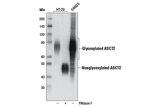 Western blot analysis of extracts from HT-29 cells, untreated or treated with peptide N-glycosidase F (PNGase F), and untreated SW620 cells using ASCT2 (D7C12) Rabbit mAb.
