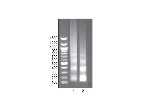 ChIP Kit - SimpleChIP® Plus Enzymatic Chromatin IP Kit (Magnetic Beads) - 1 Kit #9005, Chip-Seq