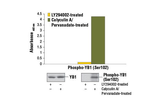 Figure 1. Treatment of Jurkat cells with calyculin A and pervanadate stimulates phosphorylation of YB1 at Ser102, detected by the PathScan<sup>®</sup> Phospho-YB1 (Ser102) Sandwich ELISA Kit #7249, but does not affect the levels of total YB1 detected by western. Jurkat cells were treated with 50 μM LY294002 (as control), or 100 nM calyculin A and 1 mM pervanadate for 30 minutes and lysed. The absorbance readings at 450 nm are shown in the upper figure, while the corresponding western blots using YB1 (D299) Antibody #4202 (left panel) or Phospho-YB1 (Ser102) (C34A2) Rabbit mAb #2900 (right panel) are shown in the lower figure.
