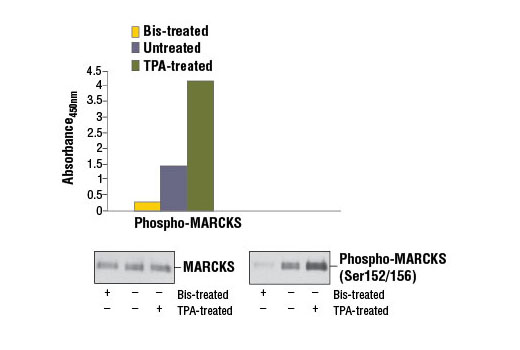 Figure 1. Treatment of Hela cells with TPA #4174 stimulates phosphorylation of MARCKS at Ser152/Ser156, while cells treated with bisindolylmaleimide inhibits phosphorylation, as detected by the PathScan<sup>®</sup> Phospho-MARCKS (Ser152/156) Sandwich ELISA Kit #7251. Hela cells (80-90% confluent) were treated with 200 μM TPA for 30 minutes at 37ºC, or treated with 2.0 μM bisindolylmaleimide for 3 hours. The absorbance readings at 450 nm are shown in the top figure, while the corresponding western blots using MARCKS (D88D11) XP<sup>®</sup> Rabbit mAb #5607 (left panel) or Phospho-MARCKS (Ser152/156) Antibody #2741 (right panel) are shown in the bottom figure.