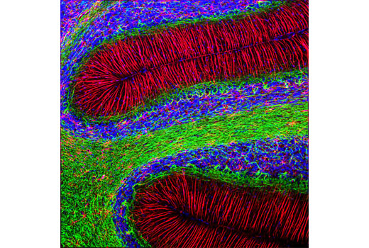 Confocal Immunofluorescent analysis of rat cerebellum using GFAP (GA5) Mouse mAb (Alexa Fluor<sup>®</sup> 594 Conjugate) (red) and Neurofilament-L (C28E10) Rabbit mAb (Alexa Fluor<sup>®</sup> 488 Conjugate) #8024 (green). Blue pseudocolor = DRAQ5<sup>®</sup> #4084 (fluorescent DNA dye).
