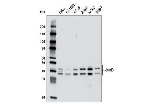 Western blot analysis of extracts from various cell lines using JunD (D17G2) Rabbit mAb.