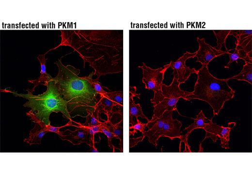 Immunofluorescence Image 2: PKM1 (D30G6) XP® Rabbit mAb