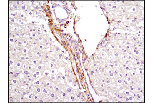 Immunohistochemical analysis of paraffin-embedded mouse liver using PKM1 (D30G6) XP<sup>® </sup>Rabbit mAb. Note the staining of vascular smooth muscle with no staining of hepatocytes.