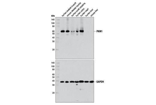 Western blot analysis of extracts from various mouse and human tissues using PKM1 (D30G6) XP<sup>® </sup>Rabbit mAb (upper) or GAPDH (D16H11) XP<sup>® </sup>Rabbit mAb #5174 (lower).