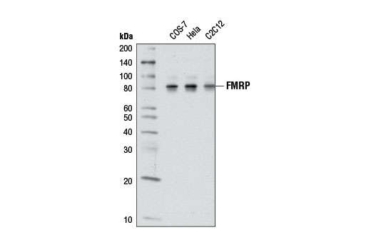 Western blot analysis of extracts from various cell lines using FMRP (D14F4) Rabbit mAb.