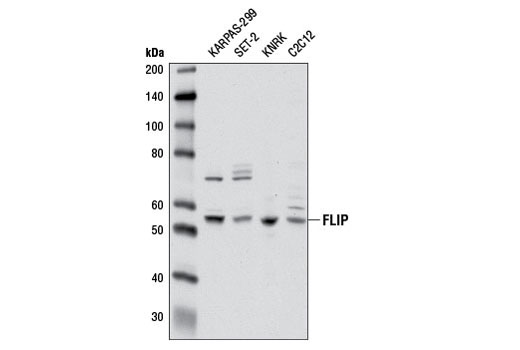 Western blot analysis of extracts from various cell lines using FLIP (D16A8) Rabbit mAb.