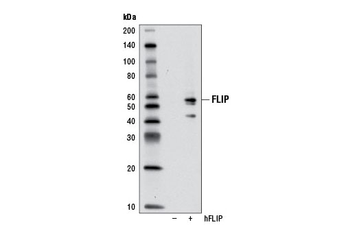 Western blot analysis of extracts from 293T cells, mock transfected (-) or transfected with human FLIP (hFLIP, +), using FLIP (D16A8) Rabbit mAb.