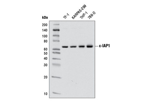 Western blot analysis of extracts from various cell lines using c-IAP1 (D5G9) Rabbit mAb.