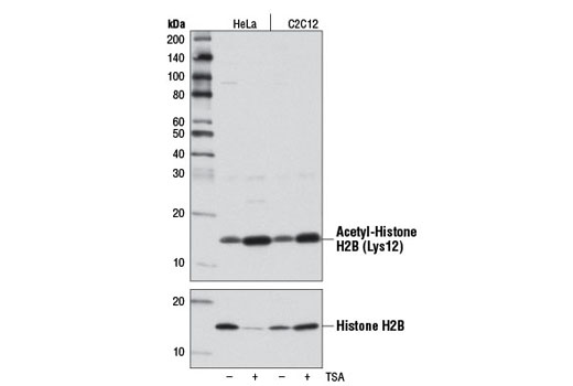 Western blot analysis of extracts from HeLa and C2C12 cells, untreated (-) or treated (+) with Trichostatin A (TSA) #9950 (1 μM, 18 hr), using Acetyl-Histone H2B (Lys12) (D7H4) Rabbit mAb (upper) and Histone H2B (53H3) Mouse mAb #2934 (lower).