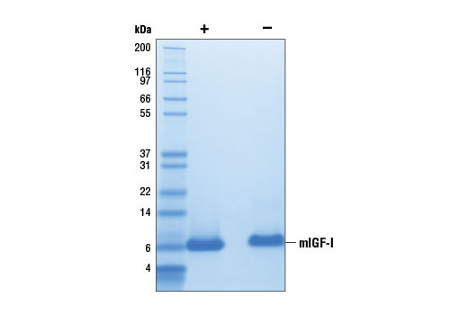 The purity of recombinant mIGF-I was determined by SDS-PAGE of 6 µg reduced (+) and non-reduced (-) recombinant mIGF-I and staining overnight with Coomassie Blue.