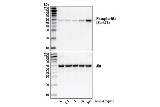 Western blot analysis of extracts from NIH/3T3 cells, untreated or treated with increasing concentrations of mIGF-I for 10 minutes, using Phospho-Akt (Ser473) (D9E) XP<sup>®</sup> Rabbit mAb #4060 (upper) and Akt1 (C73H10) Rabbit mAb #2938 (lower).