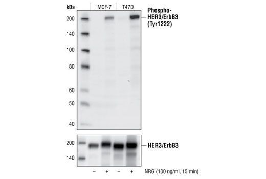 Western blot analysis of MCF-7 and T47D cell lysates untreated or stimulated with Neuregulin (100 ng/ml) for 15 min, using Phospho-HER3/ErbB3 (Tyr1222) (50C2) Rabbit mAb (upper) and HER3/ErbB3 (1B2) Rabbit mAb #4754 (lower).