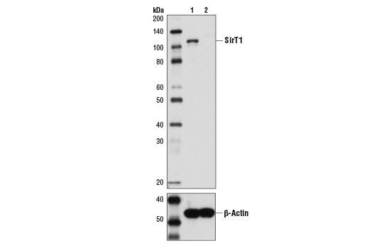 Western blot analysis of extracts from SirT1 wild-type (WT) and knockout (KO) mouse embryo fibroblasts (MEF) using SirT1 (1F3) Mouse mAb (upper) and β-Actin (D6A8) Rabbit mAb #8457 (lower). Wild-type and knockout MEFs were a gift from Wenyi Wei at the Harvard Medical School.