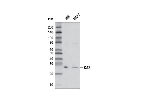 Polyclonal Antibody Regulation of Intracellular Ph