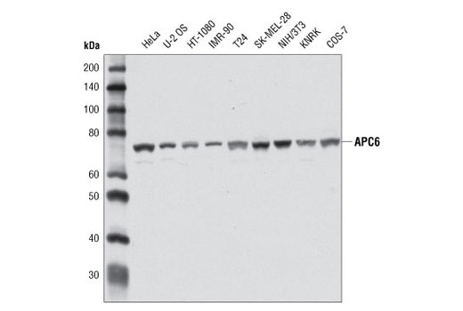 Monoclonal Antibody - APC6 (D8D8) Rabbit mAb - Immunoprecipitation, Western Blotting, UniProt ID Q13042, Entrez ID 8881 #9499, Cell Cycle / Checkpoint Control