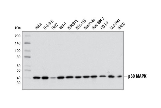 Western blot analysis of extracts from various cell lines using p38 MAPK (D13E1) XP<sup>®</sup> Rabbit mAb.