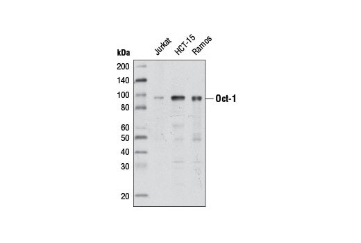 Westerrn blot analysis of extracts from various cell lines using Oct-1 (D7B6) Rabbit mAb.