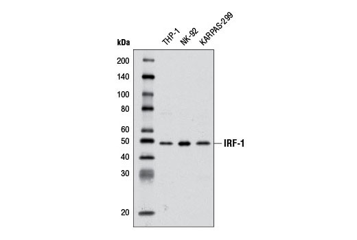 Western blot analysis of extracts from various cell lines using IRF-1 (D5E4) XP<sup>®</sup> Rabbit mAb.
