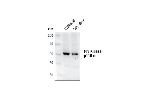 Western Blotting - PI3 Kinase p110α Antibody