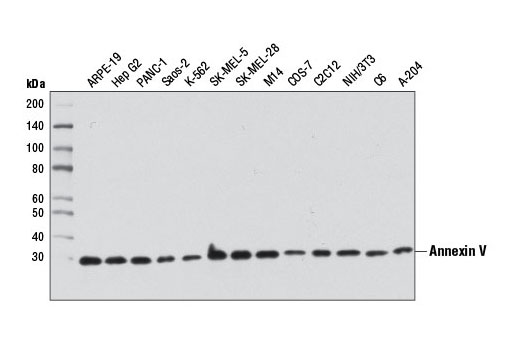 Western blot analysis of extracts from various cell lines using Annexin V Antibody.