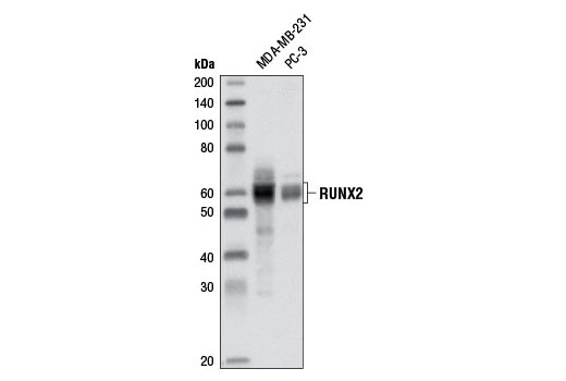 Western blot analysis of extracts from MDA-MB-231 and PC-3 cells using RUNX2 (D1H7) Rabbit mAb.