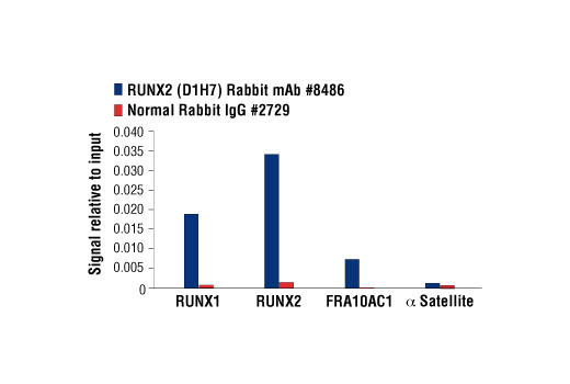 Chromatin immunoprecipitations were performed with cross-linked chromatin from Saos-2 cells and either RUNX2 (D1H7) Rabbit mAb or Normal Rabbit IgG #2729 using SimpleChIP® Enzymatic Chromatin IP Kit (Magnetic Beads) #9003. The enriched DNA was quantified by real-time PCR using human RUNX1 Intron 1 primers, SimpleChIP® Human RUNX2 Promoter Primers #12376, human FRA10AC1 intron 1 primers, and SimpleChIP® Human α Satellite Repeat Primers #4486. The amount of immunoprecipitated DNA in each sample is represented as signal relative to the total amount of input chromatin, which is equivalent to one.