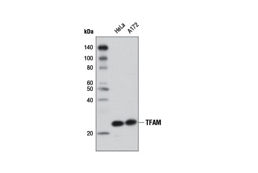 Western blot analysis of extracts from HeLa and A172 cells using TFAM (D5C8) Rabbit mAb.