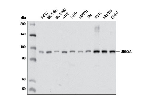 Mouse Positive Regulation of Protein Ubiquitination
