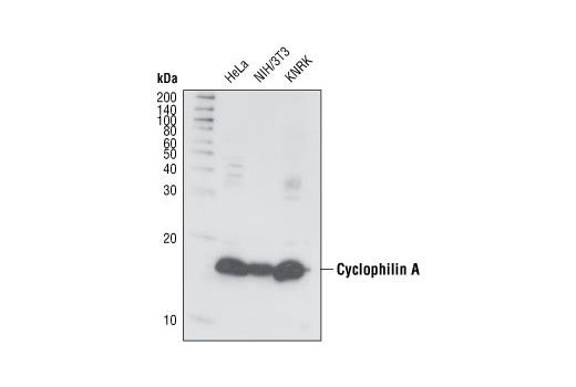 Polyclonal Antibody Release of Virus from Host