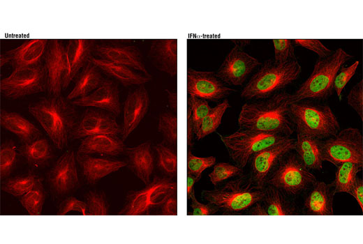Confocal immunofluorescent analysis of HeLa cells, untreated (left) or treated with hIFN-α1 #8927 (100 ng/mL, 30 min; right), using Phospho-Stat1 (Tyr701) (D4A7) Rabbit mAb (green) and β-Tubulin (9F3) Rabbit mAb (Alexa Fluor<sup>®</sup> 555 Conjugate) #2116 (red).
