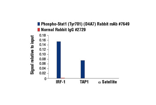 Chromatin immunoprecipitations were performed with cross-linked chromatin from HT-1080 cells treated with IFN-γ (50 ng/ml) for 30 minutes and either Phospho-Stat1 (Tyr701) (D4A7) Rabbit mAb or Normal Rabbit IgG #2729 using SimpleChIP<sup>®</sup> Enzymatic Chromatin IP Kit (Magnetic Beads) #9003. The enriched DNA was quantified by real-time PCR using human IRF-1 promoter primers, SimpleChIP<sup>®</sup> Human TAP1 Promoter Primers #5148, and SimpleChIP<sup>®</sup> Human α Satellite Repeat Primers #4486. The amount of immunoprecipitated DNA in each sample is represented as signal relative to the total amount of input chromatin, which is equivalent to one.