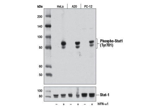 Western blot analysis of extracts from HeLa, A20, and PC-12 cells, untreated or treated with Human Interferon-α1 (hIFN-α1) #8927 (10 ng/ml, 30 min), using Phospho-Stat1 (Tyr701) (D4A7) Rabbit mAb (upper) or Stat1 Antibody #9172 (lower).