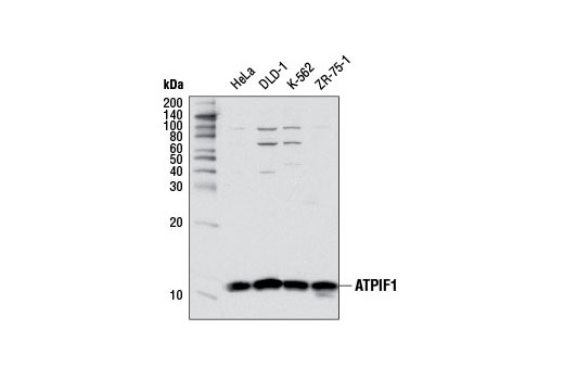 Western blot analysis of extracts from various cell lines using ATPIF1 Antibody.