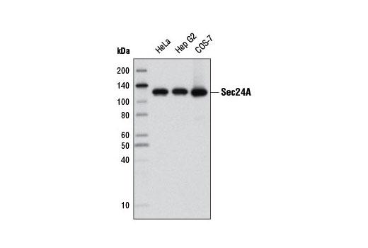 Monkey Positive Regulation of Protein Secretion