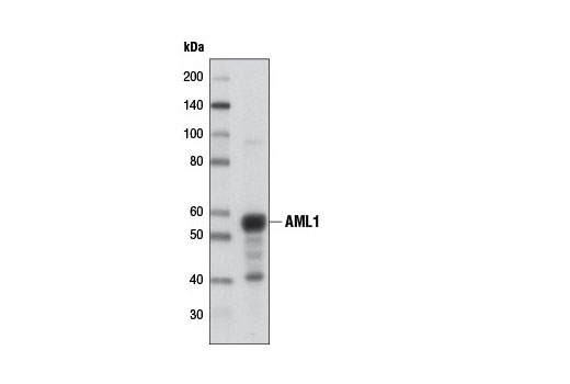Monoclonal Antibody Western Blotting Myeloid Cell Differentiation