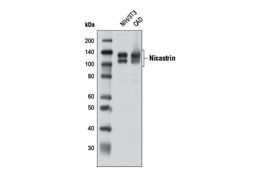 Western blot analysis of extracts from NIH/3T3 and CAD cells using Nicastrin (D65G7) Rabbit mAb.