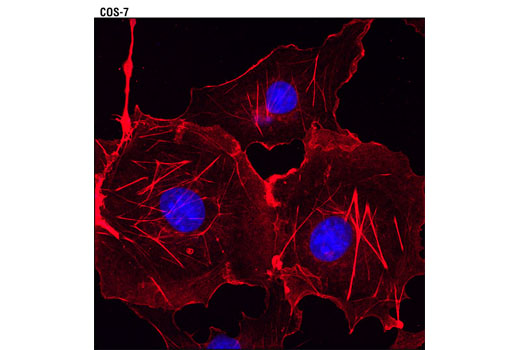 Confocal immunofluorescent analysis of COS-7 cells using β-Actin (13E5) Rabbit mAb (Alexa Fluor<sup>®</sup> 594 Conjugate) (red). Blue pseudocolor = DRAQ5<sup>®</sup> #4084 (fluorescent DNA dye).
