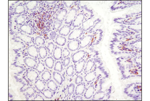 Immunohistochemical analysis of paraffin-embedded mouse colon using Btk (D3H5) Rabbit mAb.