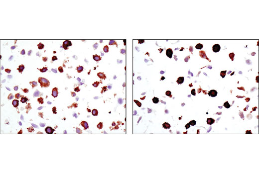 Immunohistochemical analysis of paraffin-embedded HeLa cell pellets, control (left) or UV-treated (right), using Phospho-HSP27 (Ser82) (D1H2F6) XP<sup>®</sup> Rabbit mAb.