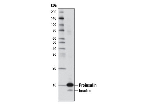 Western blot analysis of extracts from INS-1 cells using Insulin (L6B10) Mouse mAb.
