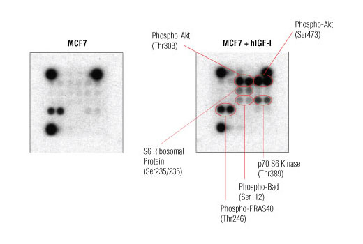 Image 2: PathScan® Intracellular Signaling Array Kit (Chemiluminescent Readout)