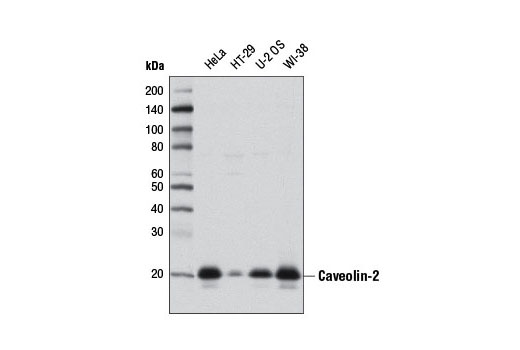 Western Blotting Image 1: Caveolin-2 (D4A6) XP® Rabbit mAb